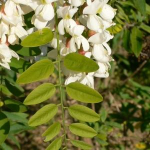 Photographie n°27734 du taxon Robinia pseudoacacia L.