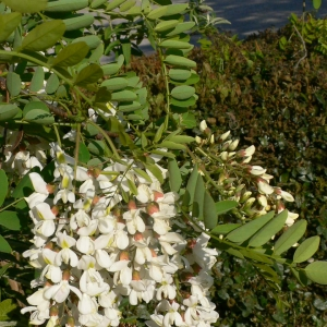 Photographie n°27737 du taxon Robinia pseudoacacia L.