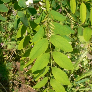 Photographie n°27739 du taxon Robinia pseudoacacia L.