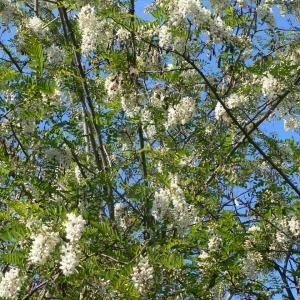 Photographie n°27745 du taxon Robinia pseudoacacia L.