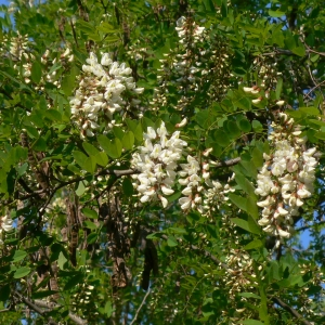 Photographie n°27752 du taxon Robinia pseudoacacia L.