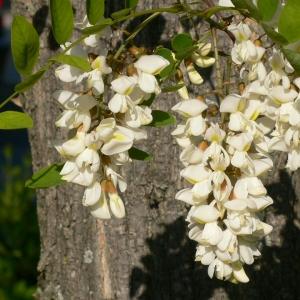 Photographie n°27758 du taxon Robinia pseudoacacia L.