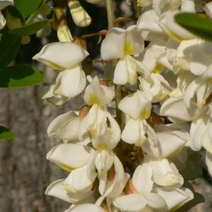 Photographie n°27759 du taxon Robinia pseudoacacia L.