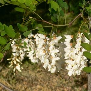 Photographie n°27760 du taxon Robinia pseudoacacia L.