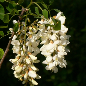 Photographie n°27761 du taxon Robinia pseudoacacia L.
