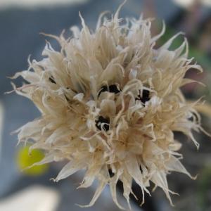 Photographie n°27954 du taxon Allium schoenoprasum L.