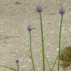 Photographie n°27956 du taxon Allium schoenoprasum L.