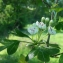 Pierre CALLEWAERT - Crataegus laevigata subsp. laevigata