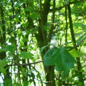 Photographie n°27981 du taxon Crataegus laevigata subsp. laevigata
