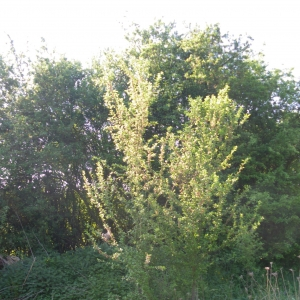Photographie n°27990 du taxon Prunus spinosa L. [1753]