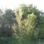 Pierre CALLEWAERT - Prunus spinosa L. [1753]