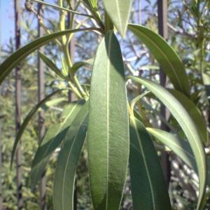 Photographie n°28017 du taxon Nerium oleander L. [1753]