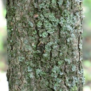 Photographie n°28647 du taxon Pistacia lentiscus L.