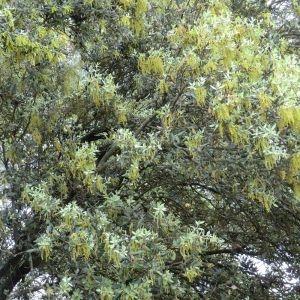 Photographie n°28674 du taxon Quercus ilex L. [1753]