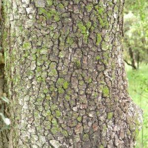 Photographie n°28675 du taxon Quercus ilex L. [1753]