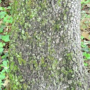 Photographie n°28676 du taxon Quercus ilex L. [1753]