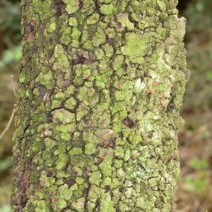 Photographie n°28678 du taxon Quercus ilex L. [1753]