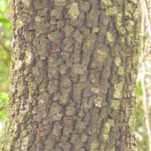 Photographie n°28680 du taxon Quercus ilex L. [1753]