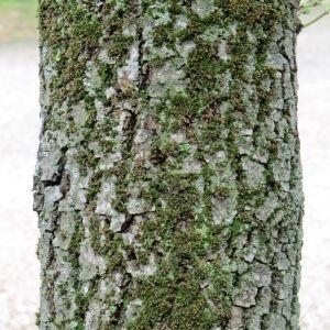 Photographie n°28682 du taxon Quercus ilex L. [1753]