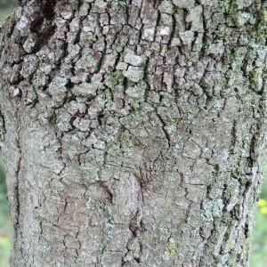 Photographie n°28683 du taxon Quercus ilex L. [1753]