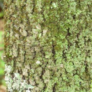 Photographie n°28684 du taxon Quercus ilex L. [1753]
