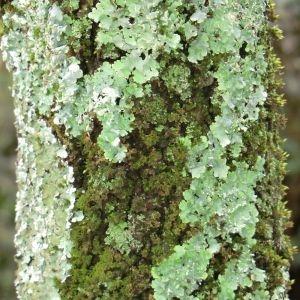 Photographie n°28685 du taxon Quercus ilex L. [1753]
