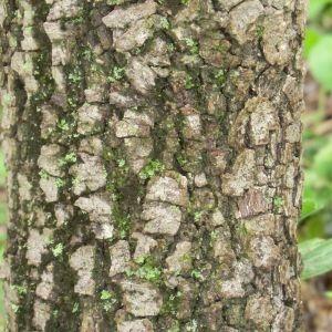 Photographie n°28686 du taxon Quercus ilex L. [1753]