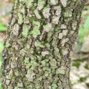 Photographie n°28687 du taxon Quercus ilex L. [1753]