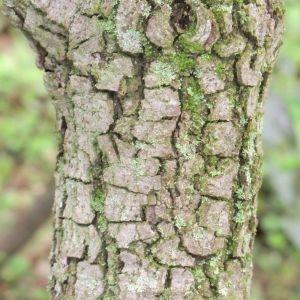 Photographie n°28688 du taxon Quercus ilex L. [1753]