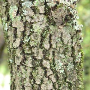 Photographie n°28690 du taxon Quercus ilex L. [1753]