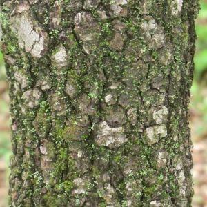 Photographie n°28691 du taxon Quercus ilex L. [1753]