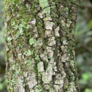 Photographie n°28692 du taxon Quercus ilex L. [1753]