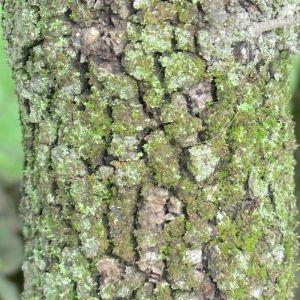 Photographie n°28693 du taxon Quercus ilex L. [1753]