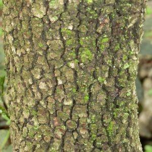 Photographie n°28695 du taxon Quercus ilex L. [1753]