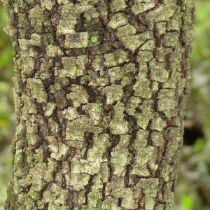 Photographie n°28697 du taxon Quercus ilex L. [1753]