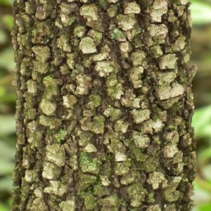 Photographie n°28698 du taxon Quercus ilex L. [1753]
