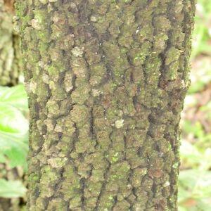 Photographie n°28700 du taxon Quercus ilex L. [1753]