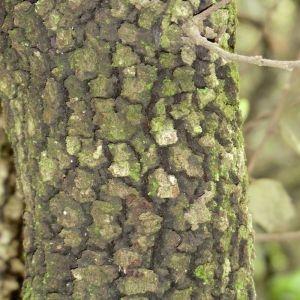 Photographie n°28701 du taxon Quercus ilex L. [1753]