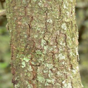 Photographie n°28702 du taxon Quercus ilex L. [1753]