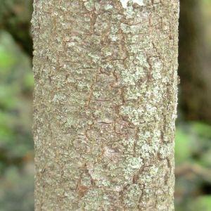 Photographie n°28703 du taxon Quercus ilex L. [1753]