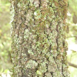 Photographie n°28705 du taxon Quercus ilex L. [1753]