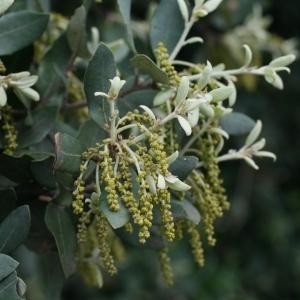 Photographie n°28709 du taxon Quercus ilex L. [1753]