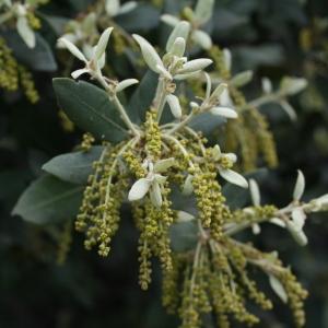 Photographie n°28710 du taxon Quercus ilex L. [1753]