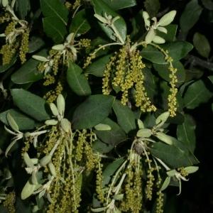 Photographie n°28718 du taxon Quercus ilex L. [1753]