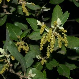 Photographie n°28720 du taxon Quercus ilex L. [1753]
