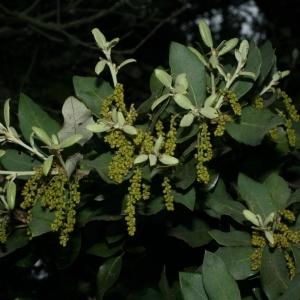 Photographie n°28721 du taxon Quercus ilex L. [1753]