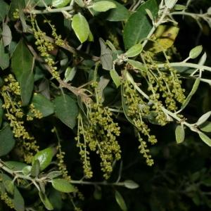 Photographie n°28723 du taxon Quercus ilex L. [1753]