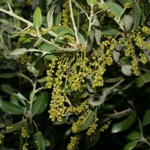 Photographie n°28724 du taxon Quercus ilex L. [1753]