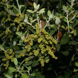 Photographie n°28725 du taxon Quercus ilex L. [1753]