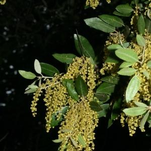 Photographie n°28732 du taxon Quercus ilex L. [1753]